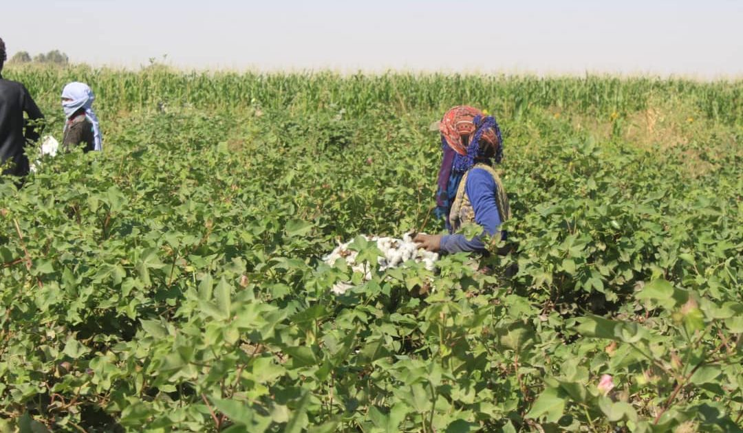 Photo of The Farmers Of Raqqa Countryside Harvest Cotton Crop