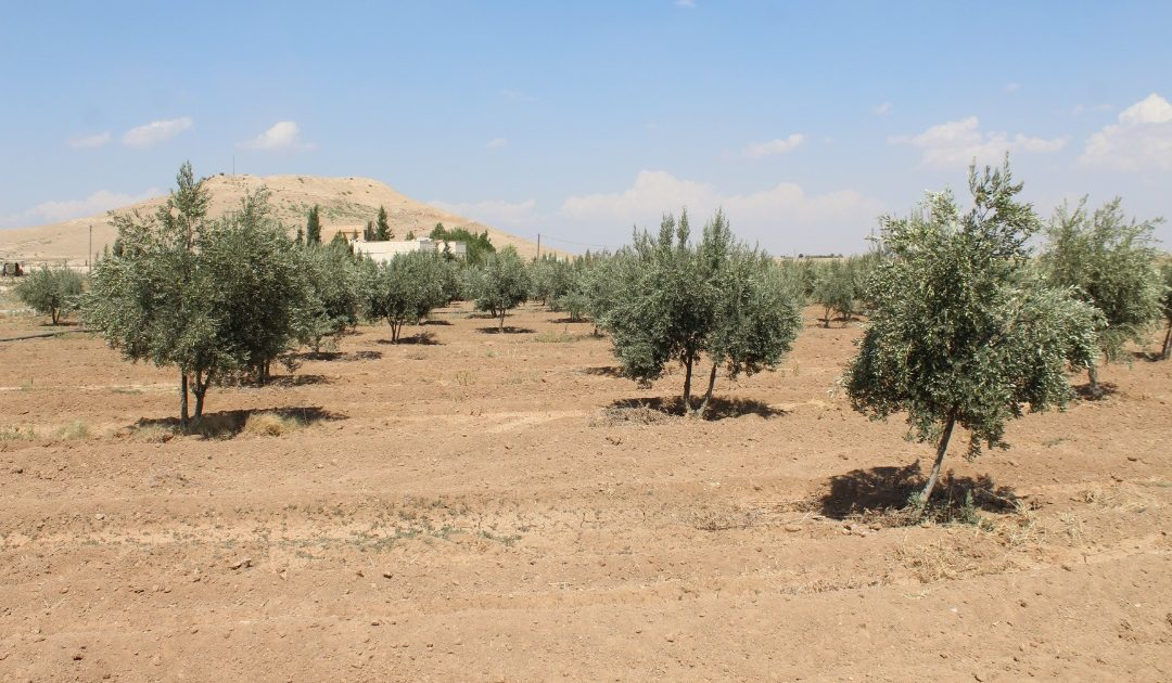 """Photo of Olive Cultivation """"An Increase In Cultivated Areas And Difficulty In Discharge Of Crops"""""""