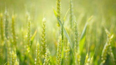 Photo of Making biofuels cheaper by putting plants to work