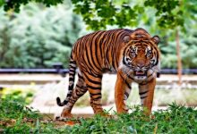 Photo of Coronavirus: Tiger at Bronx Zoo tests positive for Covid-19