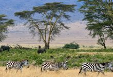 Photo of Hunting in savanna-like landscapes may have poured jet fuel on brain evolution