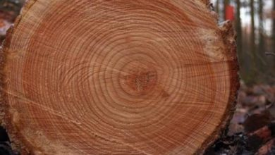 Photo of Tree rings may hold clues to impacts of distant supernovas on Earth