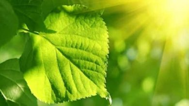 Photo of Photosynthesis could be as old as life itself